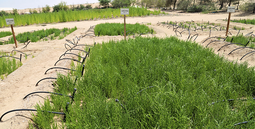 Working closely with local partners in the UAE, the scientists have recently recorded a bumper seed yield of 3 tonnes per hectare (t/ha) using seawater passing through an aquaculture system.