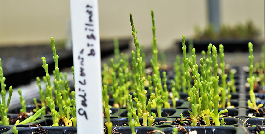 A team of scientists at the International Center for Biosaline Agriculture (ICBA) has made a major breakthrough in increasing yield potential of Salicornia, a multi-purpose halophyte.