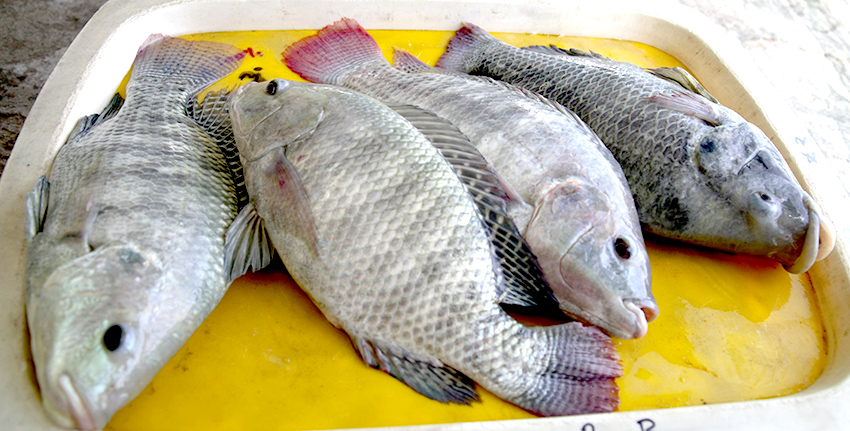 Through an improved, cost-effective inland modular farming approach in desert environments, scientists at the International Center for Biosaline Agriculture (ICBA) have achieved one of the highest fish biomass densities of Tilapia fish (30 kg per cubic meter) compared to previous growing seasons (10 kg per cubic meter), using reject brine (waste water) from desalination units.