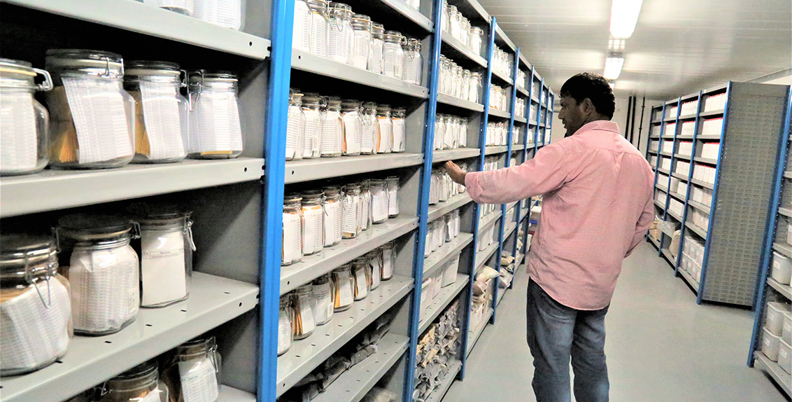 Established in 2000, ICBA's gene bank currently stores over 14,000 germplasm accessions of about 250 salt-tolerant and salt-loving plant species from more than 150 countries.