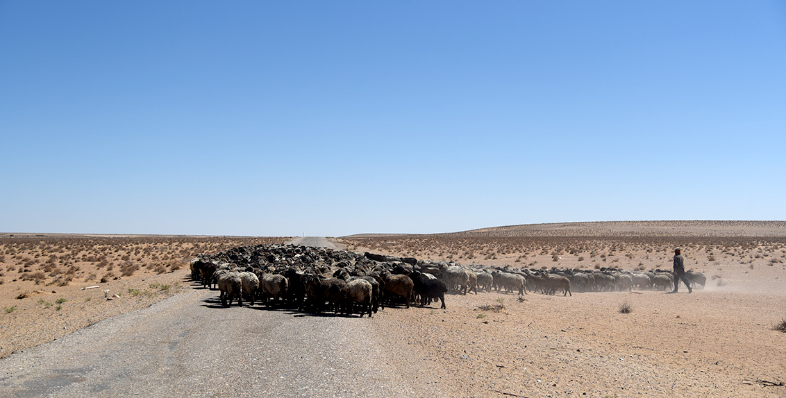 Although there is very limited surface water throughout the desert, Kyzylkum has rich reserves of saline, pressurized groundwater. For years, the desert has served as a pasture for livestock, especially Karakul sheep and camels.