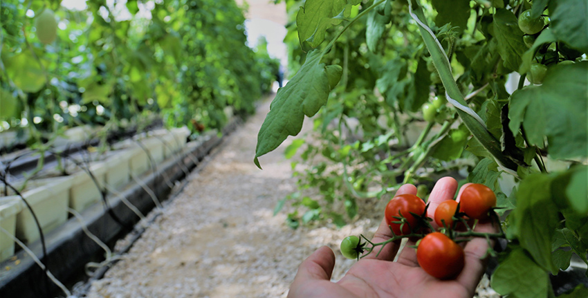 A highly efficient low-cost net-house technology can help to make horticulture significantly more feasible and profitable agri-business in the United Arab Emirates (UAE), while saving water and energy, an extensive study by the International Center for Biosaline Agriculture (ICBA) has concluded.