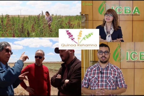 Quinoa in Rehamna, Morocco