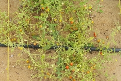Published in Frontiers in Plant Science, the study presents the genome assembly and annotation of Solanum pimpinellifolium, a wild relative of cultivated tomato.