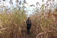 New high-yielding, stress-tolerant sorghum variety released in Kazakhstan