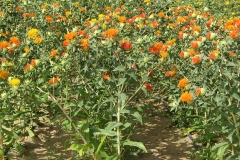 Safflower, an oil seed crop, not only has multiple commercial uses, but, due to its deep root system, is especially suitable to arid regions and sandy soils.